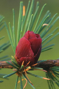 Tamarack / American larch (Larix larcina) seed cone in the spring, North America. - Visuals Unlimited