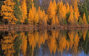 Tamarack / American larch (Larix larcina) during the autumn, America. This is one of the few deciduous conifers. - Visuals Unlimited
