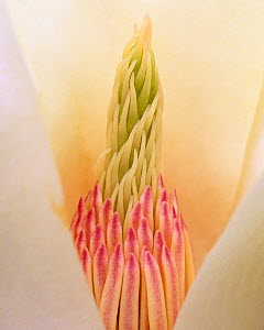 Yulan Magnolia flower parts (Magnolia denudata) originally from China.  -  Visuals Unlimited