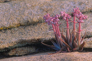 Live Forever (Dudleya saxosa), Crassulaceae, Mojave Desert, California, USA. - Visuals Unlimited