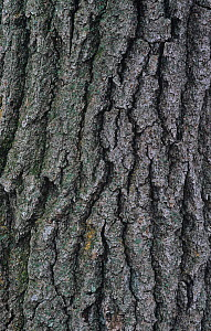 Red Maple (Acer rubrum) bark, North America.  -  Visuals Unlimited