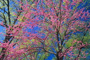 Eastern Redbud (Cercis canadensis) in bloom and Northern Red Oaks (Quercus rubra) in the spring, Eastern deciduous forest, North America. - Visuals Unlimited