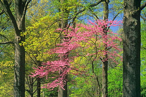 Eastern Redbud (Cercis canadensis) in bloom among Northern Red Oaks (Quercus rubra) in the spring, Eastern deciduous forest, North America.  -  Visuals Unlimited