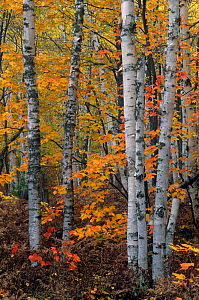 White / Paper Birch forest (Betula papyrifera) in autumn, North America. - Visuals Unlimited