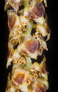 Close-up of the White / Paper Birch (Betula papyrifera) male or staminate catkin, North America. - Visuals Unlimited