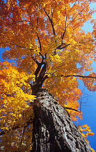 Sugar Maple (Acer saccharum) in autumn colours, Eastern North America.  -  Visuals Unlimited