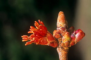 Red Maple tree (Acer rubrum) flowers and buds, North America.  -  Visuals Unlimited