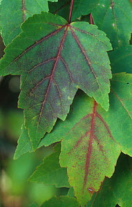 Red Maple tree (Acer rubrum) leaves beginning to change to colour in autumn, North America.  -  Visuals Unlimited