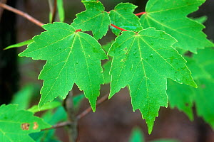 Red Maple tree (Acer rubrum) summer leaves, North America.  -  Visuals Unlimited
