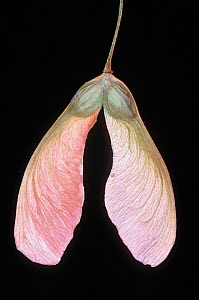 Silver Maple tree (Acer saccharinum) winged seed or samara, North America. - Visuals Unlimited