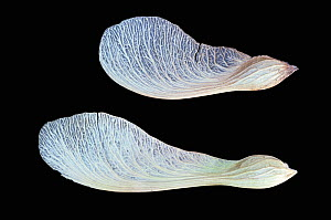 Silver Maple tree (Acer saccharinum) winged seeds or samaras, North America. - Visuals Unlimited