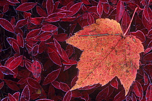 Maple tree (Acer sp) on frosted Blueberry leaves, North America. - Visuals Unlimited