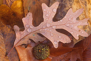 White Oak tree (Quercus alba) fallen leaves with rain drops on the forest floor, North America.  -  Visuals Unlimited