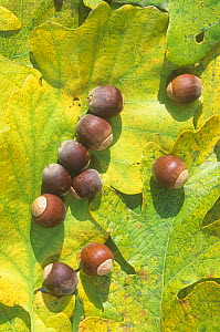 White Oak tree (Quercus alba) acorns and leaves, North America.  -  Visuals Unlimited