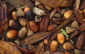 Live Oak tree (Quercus virginiana) leaves and acorns on the forest floor, Eastern North America.  -  Visuals Unlimited