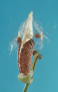 Milkweed (Asclepias sp) seed pod covering opened to show the seeds that are dispersed by the wind, North America. - Visuals Unlimited