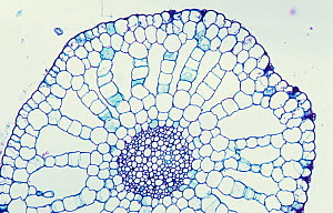 Cross-section of a hydrophytic Bladderwort stem (Utricularia sp) showing aerenchyma and vascular bundles. LM X30.  -  Visuals Unlimited