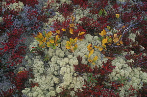 Two species (grey and white coloured) of Reindeer Lichens (Cladonia sp) among autumn fruiting Blueberries, White Mountains, New Hampshire, USA.  -  Visuals Unlimited