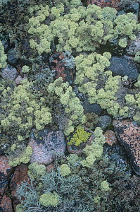 Two species, grey and white coloured, of Reindeer Lichens (Cladonia sp) among crustose lichen-covered rocks, Northern North America.  -  Visuals Unlimited