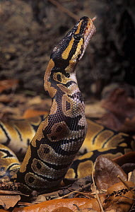 Ball Python (Python regius) swallowing mouse prey, Africa.  -  Visuals Unlimited