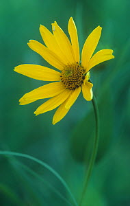Ox-eye flower (Heliopsis helianthoides), Asteraceae, North America. - Visuals Unlimited
