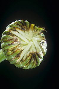 Daisy flower bud (Chrysanthemum sp) - Visuals Unlimited