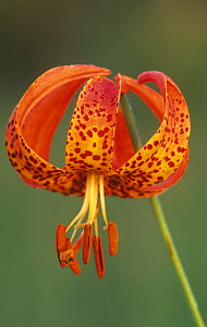 Michigan or Turk's cap lily flower (Lilium michiganense), North America. - Visuals Unlimited