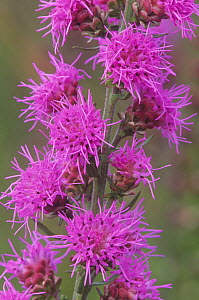 Close-up of Northern Blazing Star flowers (Liatris borealis), a localized threatened or endangered species, North America. - Visuals Unlimited