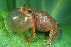 Male Spring peeper frog (Hyla crucifer) calling, North America.  -  Visuals Unlimited