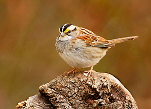 White-throated sparrow (Zonotrichia albicollis) with its feathers fluffed, piloerection, for protection against the sleeting weather, North America.  -  Visuals Unlimited