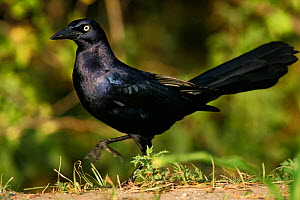 Great-tailed grackle (Quiscalus mexicanus) Southwest USA. - Visuals Unlimited