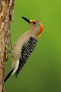 Male Golden-fronted woodpecker (Melanerpes aurifrons) Texas, USA.  -  Visuals Unlimited