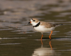 Piping plover (Charadrius melodus) an endangered species, North America.  -  Visuals Unlimited