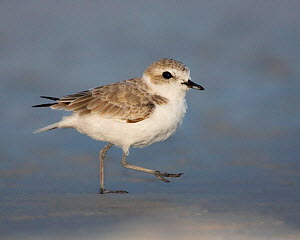 Snowy plover (Charadrius alexandrinus) an endangered species, USA.  -  Visuals Unlimited