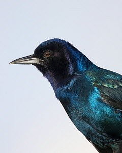 Female Boat-tailed grackle (Quiscalus major) head, Eastern USA.  -  Visuals Unlimited