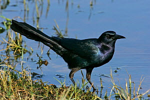 Boat-tailed grackle (Quiscalus major) Eastern USA.  -  Visuals Unlimited