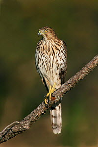 Cooper's hawk (Accipiter cooperii) juvenile perched on a branch looking for prey, North America.  -  Visuals Unlimited
