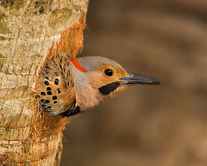 Male Northern flicker (Colaptes auratus) peering from its nest hole in a tree trunk, USA.  -  Visuals Unlimited