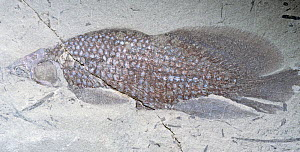 Fossil Dipnoan or Lungfish fossil (Fleurantia sp), Upper Devonian Period, Quebec, Canada. - Visuals Unlimited