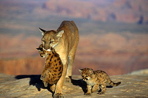 Mountain lion / Cougar / Puma (Felis concolor) female carrying a cub in its mouth and being followed by another cub, Western North America. Captive. - Visuals Unlimited