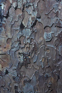 Bark of the Sugar pine tree (Pinus lambertiana) California, USA. - Visuals Unlimited