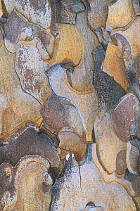 Bark of the Jeffrey pine tree (Pinus jeffreyi) California, USA. - Visuals Unlimited