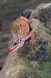 Leopard gecko (Eublepharis macularius) with its tongue extended, India and Pakistan. Captive - Visuals Unlimited