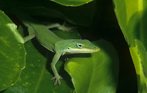Green anole (Anolis carolinensis), green colour against green leaves, Florida, USA.  -  Visuals Unlimited