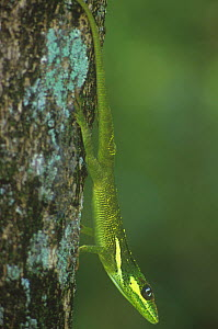 Knight anole (Anolis equestris), an introduced species from Cuba into Florida, USA.  -  Visuals Unlimited