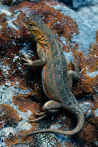 Tree lizard (Urosaurus ornatus), Texas, USA. - Visuals Unlimited