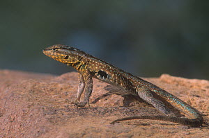 Side-blotched lizard (Uta stansburiana) Southwestern North America. Note the raised body and feet for temperature regulation on the hot rock surface. - Visuals Unlimited