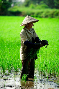 Woman working in rice paddy field, Mekong Delta, Vietnam, January 2009. - Charlie Dailey