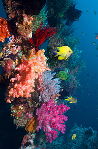Golden damselfish (Amblyglyphidodon aureus) swimming past coral reef wall with colourful soft corals. Bali, Indonesia.  -  Georgette Douwma