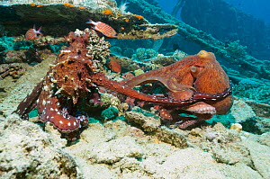 Common reef / Day octopus (Octopus cyanea) pair mating on wreck. Egypt, Red Sea.  -  Georgette Douwma